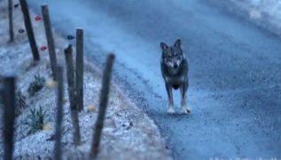 Lockerung des Wolfschutzes